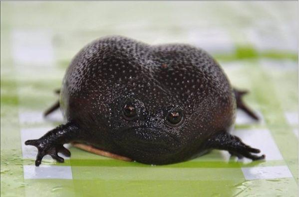 Broască sau avocado? Cel mai ciudat amfibian trăiește în Africa de Sud și e complet la dispoziția femelei (Galerie foto)