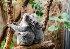 Australia va utiliza drone și câini pentru recensământul populaţiei de koala. Se încearcă salvarea speciei de la dispariție