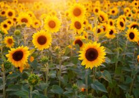 România rămâne cel mai mare producător de floarea-soarelui din UE