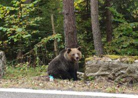 Transfăgărăşanul se deschide la 1 iulie. Atenție la urși!