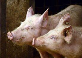 ANSVSA anunță 441 de focare de pestă porcină africană în România. Numărul lor a scăzut datorită restricțiilor impuse de pandemie