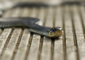 Doi șerpi s-au ascuns în mașinile unor reșițeni: Unul a depus ouă lângă motor