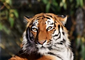 Un tigru siberian a ucis o îngrijitoare la grădina zoo din Zurich