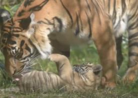 Un tigru de Sumatra, specie pe cale de dispariţie, s-a născut la o grădină zoologică din Polonia (Video)