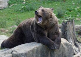 O ursoaică agresivă a umblat prin Buşteni- UPDATE: A fost prinsă și tranchilizată
