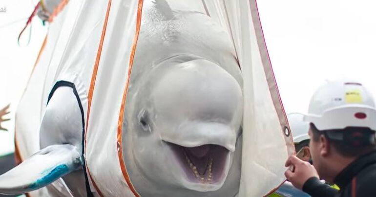 Doi delfini albi au fost în sfârșit eliberați, după 10 ani de captivitate. Poveste cu final fericit (Video)
