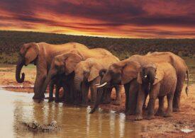 Sute de elefanți au murit în Botswana și acum se știe și motivul