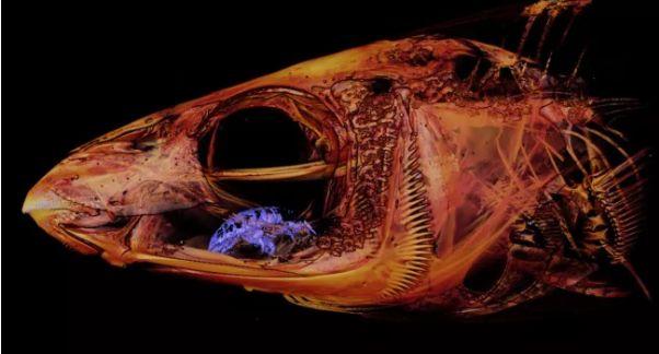 A fost descoperit parazitul care se hrănește cu limba peștilor și apoi îi ia locul. Gazda poate trăi așa și ani buni