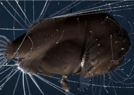 Evoluția a redus acești pești la organe genitale și inimă. Se atașează de femelă și fuzionează cu ea