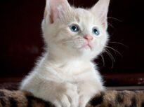 Microciparea pisicilor va deveni obligatorie în Marea Britanie