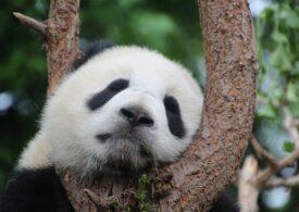 Urșii panda au fost salvați, dar cu ce costuri... Plătesc alte specii