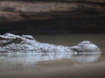 O femeie s-a trezit cu un aligator în curtea casei, după inundațiile provocate de uraganul Sally (Video)