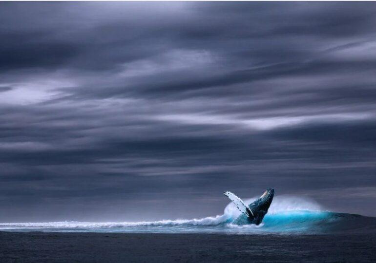O balenă tocmai a stabilit un record incredibil. Niciun mamifer nu poate ajunge la performanța sa