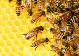 Albinele pot fi ''instruite'' să detecteze COVID-19. De ce ne-ar fi aşa ceva de folos