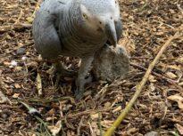 Câțiva papagali dintr-un parc natural au fost izolați, pentru că îi înjurau pe vizitatori