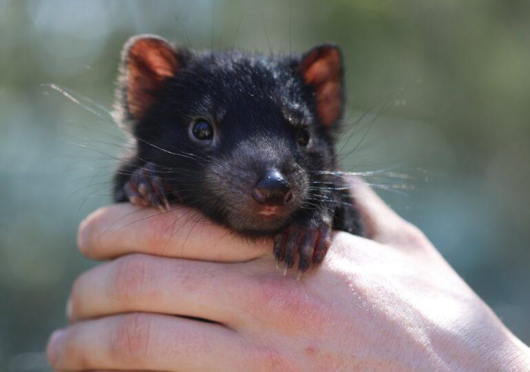 Diavolii tasmanieni au fost reintroduşi în Australia continentală la 3.000 de ani de la dispariţie