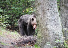 A fost relocată ursoaica agresivă de pe poteca turistică spre Cascada Urlatoarea (Galerie foto)