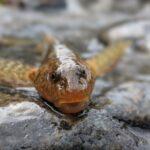 Fosilă vie: Un peşte vechi de 65 de milioane de ani aflat în pragul dispariţiei a reapărut într-un râu din Munții Făgăraș