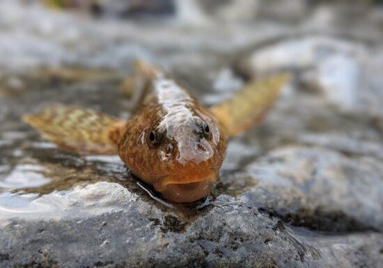 BBC relatează despre cursa biologilor români de a salva aspretele, cel mai rar pește din Europa, considerat o fosilă vie