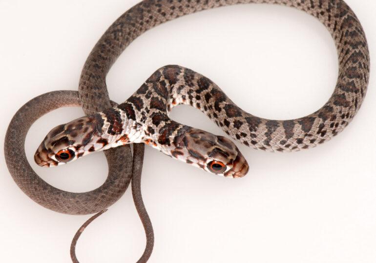 A fost descoperit un șarpe cu două capete! Are și două creiere, care adesea intră în contradicție