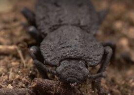 Știai că există un gândac care poate susține de aproape 40.000 de ori greutatea sa? Secretul micului indestructibil, care poate duce o maşină în spate