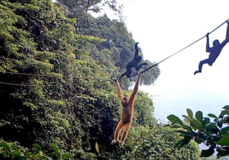 Cea mai rară primată din lume, filmată făcând un lucru surprinzător. Mai există speranțe!