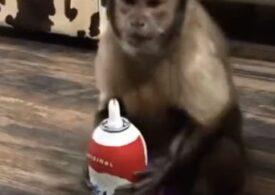 Viralul zilei: Maimuța care adoră frișca și nu o împarte cu nimeni