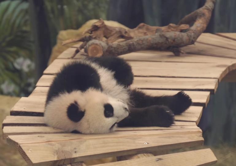 Primul pui de panda gigant născut în Olanda a fost prezentat publicului (Video)