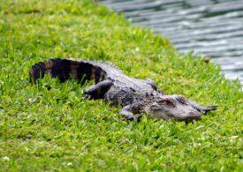Nu numai șopârlele, ci și aligatorii își pot regenera coada! Cu o diferență
