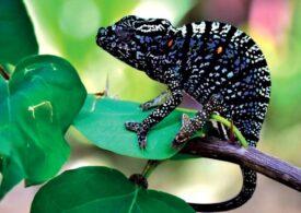 O specie a fost redescoperită după mai bine de un secol! Femelele sunt cu adevărat fascinante