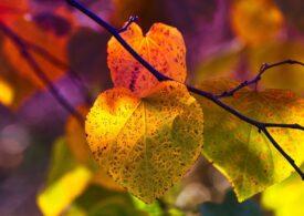 Frunzele copacilor cad mai devreme toamna, din cauza schimbărilor climatice