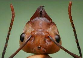 O specie de furnici este echipată cu un tip de armură nemaivăzut până acum la insecte