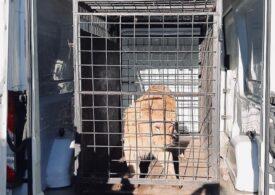 Vela anunță că leul maltratat și folosit în videoclipul manelistului Dani Mocanu a fost salvat