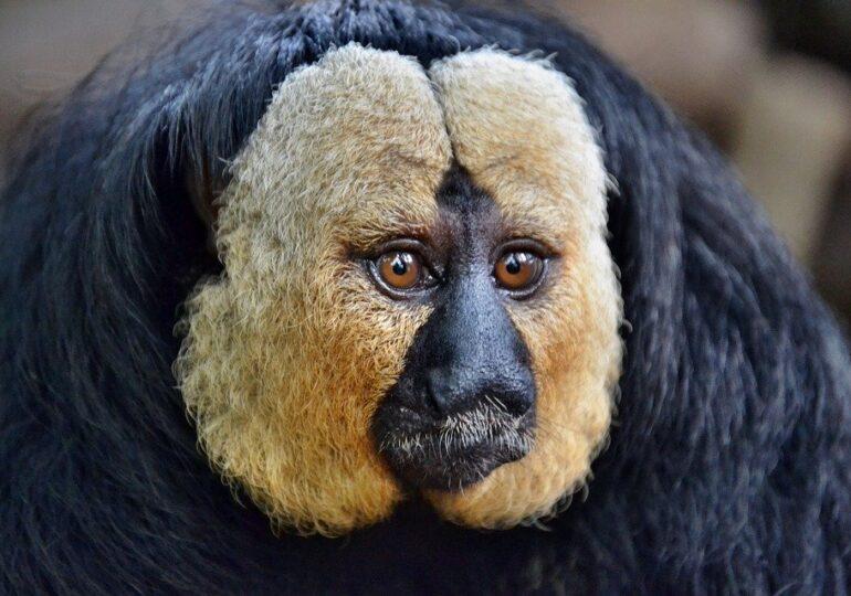 Fenomen interesant observat la o grădină zoologică din Finlanda: Maimuțele se calmează și chiar adorm pe sunetele din trafic. Le preferă celor din natură