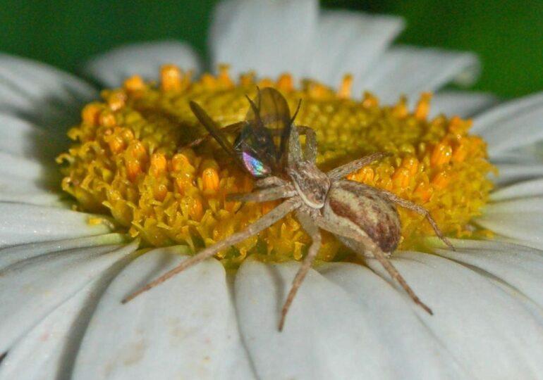 Strategia ciudată folosită de unii păianjeni pentru a se asigura că nu sunt omorâți în timp ce se împerechează