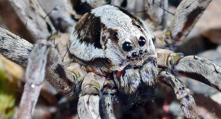 O specie de păianjen, considerată dispărută de acum zeci de ani, a fost redescoperită. De ce e specială