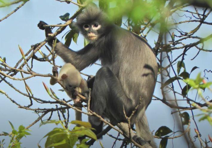 O nouă specie de maimuță a fost descoperită! Din păcate, e deja în pericol de dispariție
