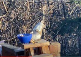 Și animalele au slăbiciunea alcoolului. Iată o veveriță care s-a îmbătat după ce s-a înfruptat din pere fermentate (Video)