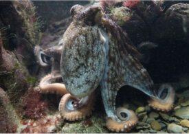Comportamentul abuziv al caracatițelor față de pești. Pur și simplu, îi pocnesc, adesea gratuit (Video)