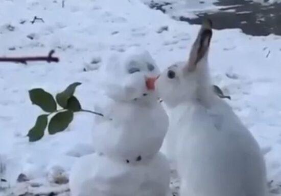 Viralul zilei: Iepurele sărută omul de zăpadă sau îi mănâncă nasul?