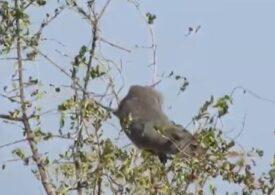 Nou mamifer extrem de vocal, descoperit în Kenya.  Nu seamănă cu nimic cunoscut. În mod surprinzător, e înrudit cu elefantul