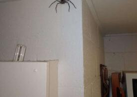 """Un australian trăiește deliberat în casă cu un păianjen cât fața lui: """"Sper să facă pui!"""""""