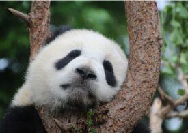 Un obicei ciudat al urșilor panda, dar cu multe beneficii. Parcă nu-ți mai vine să-i strângi în brațe și să-i săruți