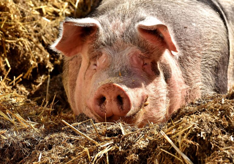 Marii crescători de porci se plâng că vând carnea în pierdere. De vină ar fi țăranul, care e negociator abil și dă mai scump