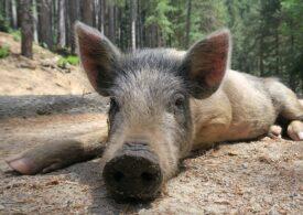 În România sunt active 184 de focare de pestă porcină africană: 21 de focare noi în ultimele două săptămâni şi 54 de cazuri noi la mistreţi