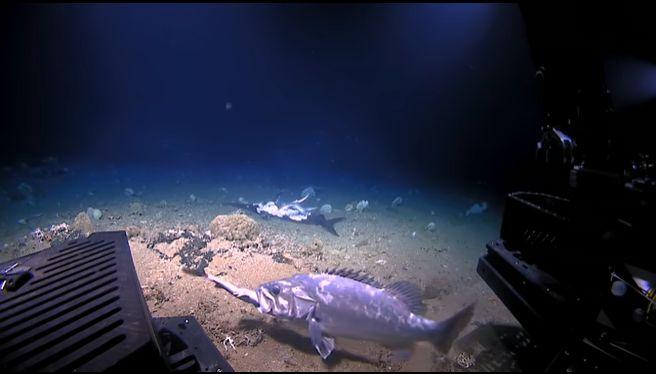 Moment rar surprins în adâncuri: un rechin este înghițit de viu de un alt pește (Video)