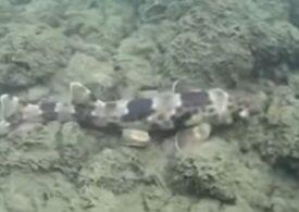 """Specie de rechin, filmată pentru prima oară """"mergând"""" pe fundul oceanului"""