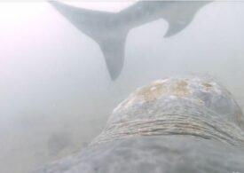 Prima înregistrare a atacului unui rechin asupra unei țestoase. Broasca e departe de a fi neajutorată! (Video)