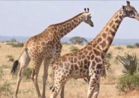 Girafe pitice, găsite pentru prima oară în sălbăticie (Video)