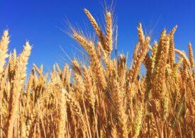 Cotaţia grâului a ajuns la cel mai ridicat nivel, după ce Rusia a spus că vrea să majoreze taxa la exporturi